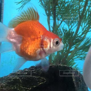水槽で泳ぐ金魚のアップの写真・画像素材[4763437]