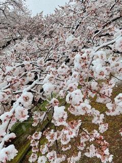 桜満開の上に積もった雪の写真・画像素材[4781581]