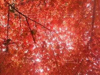 秋,葉,樹木,草木,カエデ
