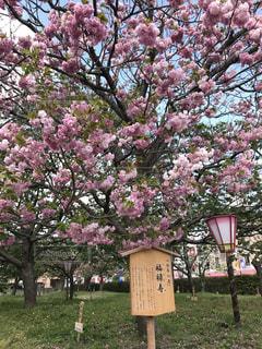 桜,広島,造幣局の通り抜け,今年の花