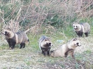 動物,屋外,草,動物園,アライグマ,クマ