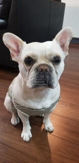 犬,動物,屋内,白,床,子犬,ボクサー,犬種,後背位
