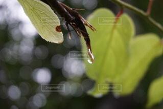 枝から零れ落ちそうな雫の写真・画像素材[4766976]