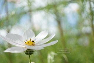 白いコスモスの横顔の写真・画像素材[4767084]