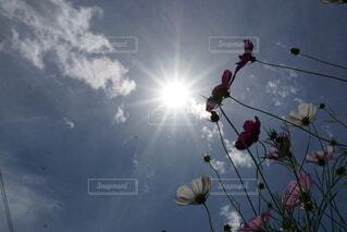 太陽に向かって咲く秋桜の写真・画像素材[4767082]