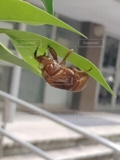 蝉の抜け殻の写真・画像素材[4769550]