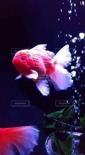 金魚すくいの写真・画像素材[4777270]