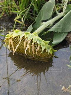 ノスタルジック向日葵の写真・画像素材[4775906]