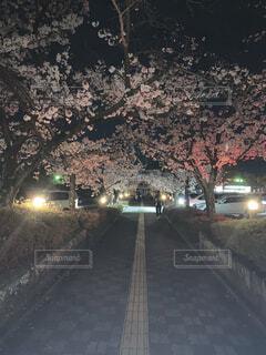 夜の桜道の写真・画像素材[4769939]