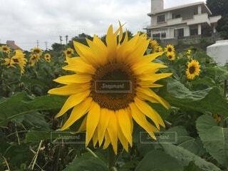 空に伸びる大きな花の写真・画像素材[4771068]
