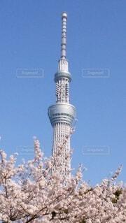 東京スカイツリーと桜の写真・画像素材[4781354]