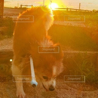 犬,風景,動物,朝日,階段,ウォーキング,オレンジ,草,朝焼け,朝,朝陽,お散歩,サンシャイン,サンライズ