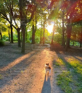 犬,動物,森林,屋外,太陽,朝日,森,林,光,草,樹木,土,地面,パピヨン,朝陽,お散歩,サンシャイン,光彩,小犬