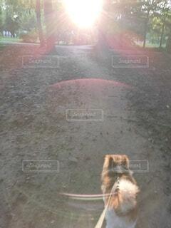 犬,森林,屋外,太陽,朝日,森,林,木漏れ日,光,土,パピヨン,朝陽,陽射し,サンシャイン,ゴースト,光彩,光の輪