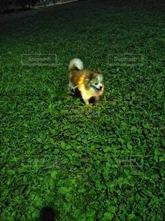 犬,夜,動物,屋外,緑,草原,歩く,景色,ライト,草,野原,リング,パピヨン,お散歩,首輪,小犬