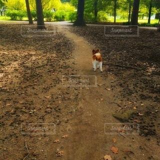 犬,動物,森林,屋外,樹木,地面,パピヨン,森林浴,お散歩,小犬