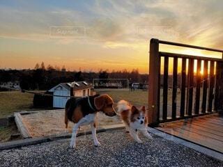 犬,自然,空,夕日,動物,屋外,夕焼け,夕方,地面,夕陽,お散歩,夕焼け空,挨拶,夕刻,小犬