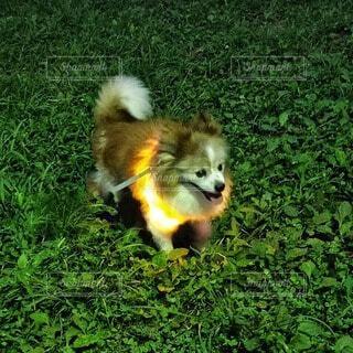 犬,動物,屋外,緑,黄色,茶色,ライト,走る,草,お散歩,首輪,小犬,ライトリング