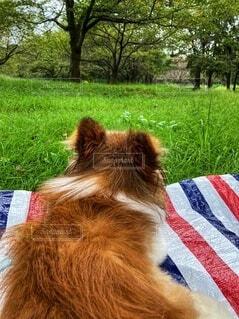 動物,屋外,オレンジ,草,樹木,パピヨン,森林浴,お散歩,小犬,レジャーシート