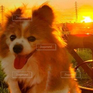 朝焼けと小犬の写真・画像素材[4803907]