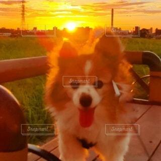 朝焼けと小犬の写真・画像素材[4803908]