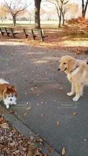 犬,公園,秋,動物,屋外,枯葉,落ち葉,樹木,ペット,歩道,地面,パピヨン,愛犬,お散歩