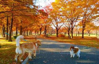 犬,公園,秋,動物,紅葉,屋外,枯葉,草,落ち葉,樹木,パピヨン,愛犬,お散歩,出逢い