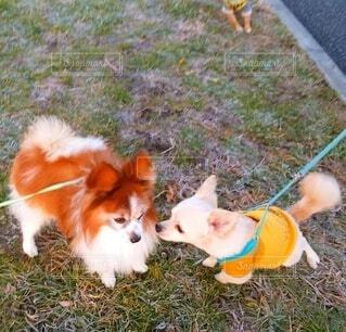 犬,動物,屋外,草,ペット,パピヨン,愛犬,お散歩,挨拶,小犬