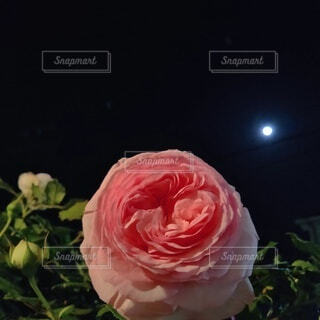 ピエール・ドゥ・ロンサールさんと満月の夜更けの写真・画像素材[4852928]