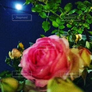 満月と薔薇の花の写真・画像素材[4857145]