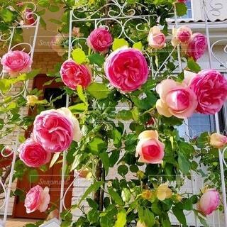 薔薇 ピエール・ドゥ・ロンサールの写真・画像素材[4873949]