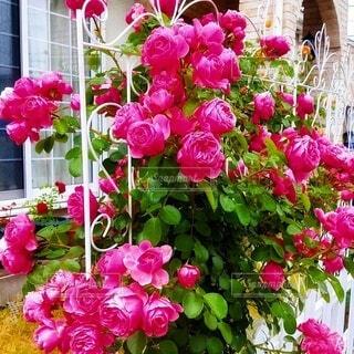 薔薇 レオナルド・ダ・ヴィンチの写真・画像素材[4873950]