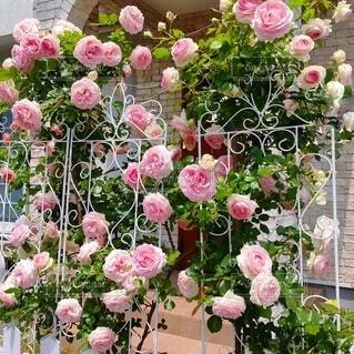 薔薇 ピエール・ドゥ・ロンサール と白いフェンスの写真・画像素材[4874033]