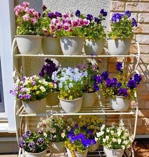 ビオラの植木鉢の写真・画像素材[4874135]