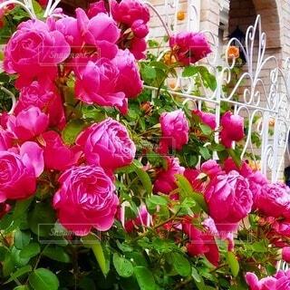 庭の白いフェンスと薔薇 レオナルド・ダ・ヴィンチの写真・画像素材[4877565]