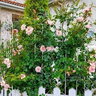 薔薇 ニュードーンと白いフェンスの写真・画像素材[4880255]