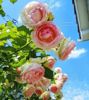 庭の薔薇の写真・画像素材[4891065]