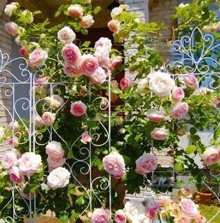玄関前の薔薇の垣根の写真・画像素材[4891066]