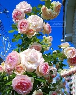 屋根に向かって伸びるピンクの薔薇の写真・画像素材[4891067]