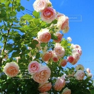 庭の薔薇の写真・画像素材[4891064]