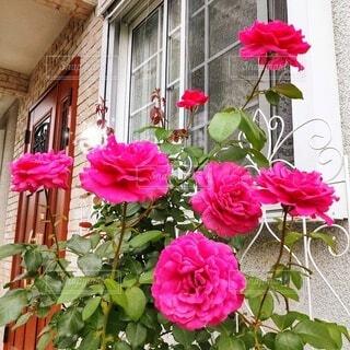 玄関前の薔薇 マリーアントワネットの写真・画像素材[4915724]