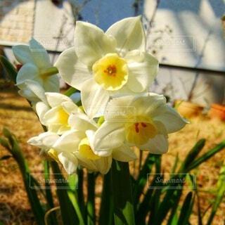 庭の水仙の写真・画像素材[4917512]