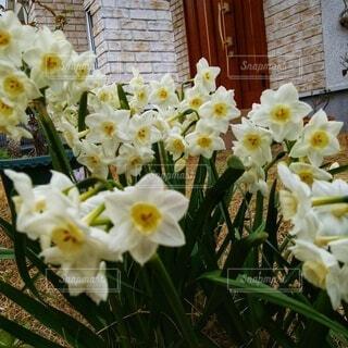 庭の水仙の写真・画像素材[4917514]