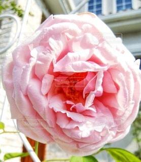 庭の薔薇 ラ・フランスの写真・画像素材[4917515]