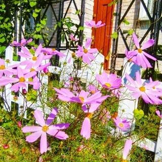 秋桜の写真・画像素材[4917521]