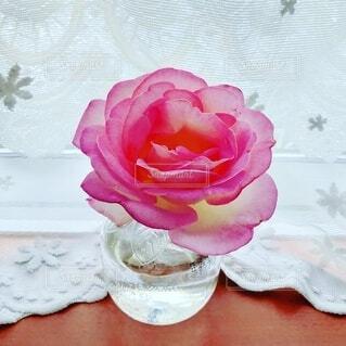 お庭の薔薇 プリンセス・ドゥ・モナコの写真・画像素材[4939256]