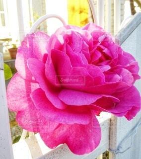 お庭の薔薇の写真・画像素材[4939255]
