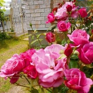 庭の薔薇 フェルゼン伯爵の写真・画像素材[4941014]