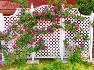 素敵な薔薇のトレリスの写真・画像素材[4941142]