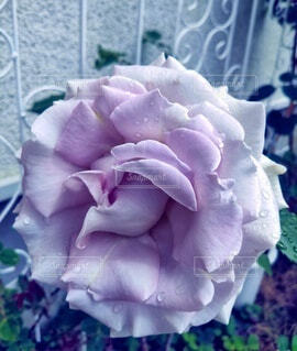 庭の薔薇の写真・画像素材[4943610]